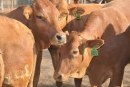More cows in Botswana than human population